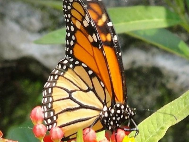 OPENING DAY: Butterfly Jungle: SD Zoo Safari Park, Escondido